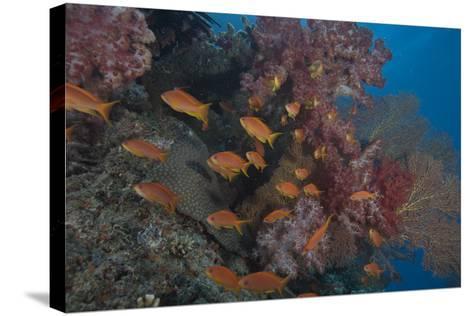 Scalefin Anthias Fish in Beqa Lagoon, Fiji-Stocktrek Images-Stretched Canvas Print