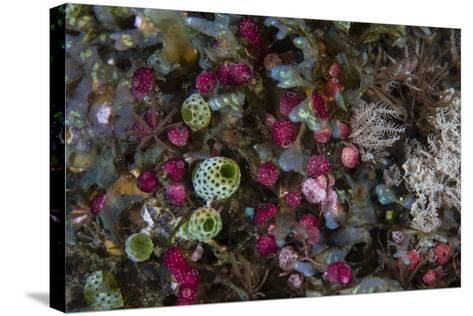 Colorful Tunicates Grow Among Coral Polyps-Stocktrek Images-Stretched Canvas Print