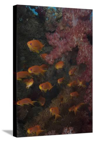 Scalefin Anthias Fish in Beqa Lagoon, Fiji-Stocktrek Images-Stretched Canvas Print