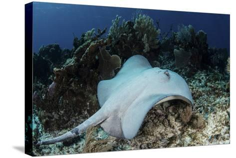 A Roughtail Stingray Swims over the Seafloor Near Turneffe Atoll-Stocktrek Images-Stretched Canvas Print
