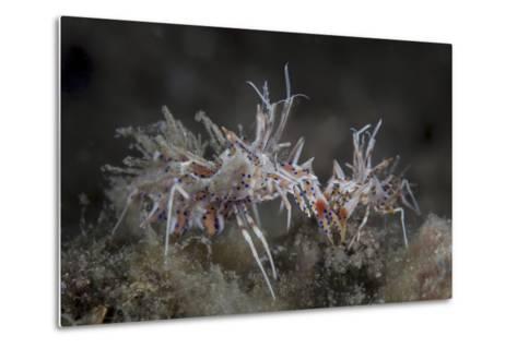 A Pair of Spiny Tiger Shrimp Crawl on the Seafloor-Stocktrek Images-Metal Print