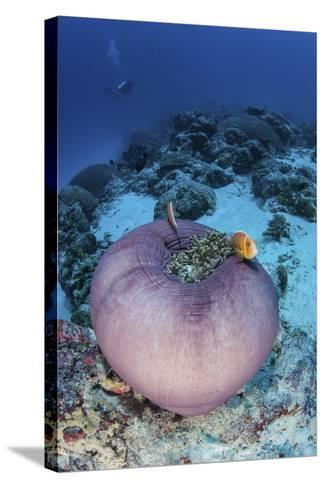 Pink Anemonefish Swim Close to their Host Anemone-Stocktrek Images-Stretched Canvas Print