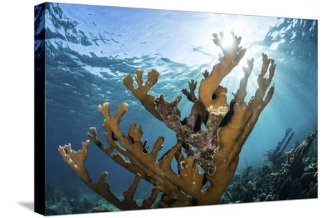 Elkhorn Coral Grows on a Healthy Reef in the Caribbean Sea-Stocktrek Images-Stretched Canvas Print