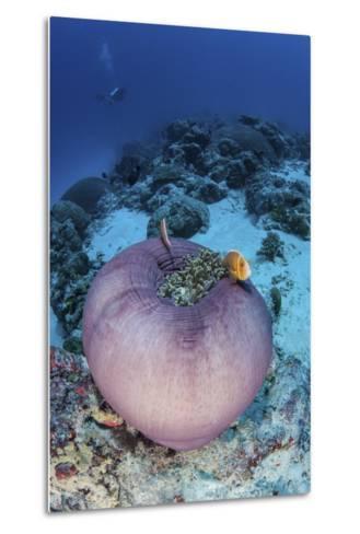 Pink Anemonefish Swim Close to their Host Anemone-Stocktrek Images-Metal Print