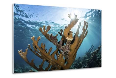 Elkhorn Coral Grows on a Healthy Reef in the Caribbean Sea-Stocktrek Images-Metal Print