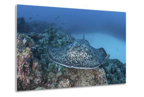 A Large Black-Blotched Stingray Near Cocos Island, Costa Rica-Stocktrek Images-Metal Print