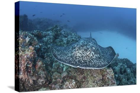 A Large Black-Blotched Stingray Near Cocos Island, Costa Rica-Stocktrek Images-Stretched Canvas Print