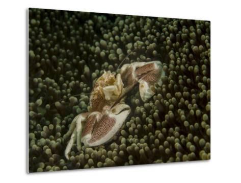 Porcelain Crab in Anemone, Lembeh Strait, Indonesia-Stocktrek Images-Metal Print