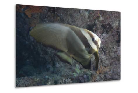Longfin Spadefish, Beqa Lagoon, Fiji-Stocktrek Images-Metal Print