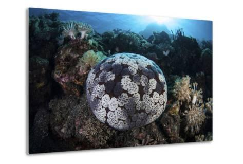 A Pin Cushion Starfish Clings to a Coral Reef-Stocktrek Images-Metal Print