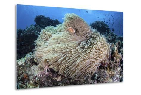 A Pink Anemonefish Swims Among the Tentacles of its Host Anemone-Stocktrek Images-Metal Print