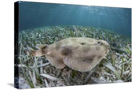 An Electric Ray on the Seafloor of Turneffe Atoll Off the Coast of Belize-Stocktrek Images-Stretched Canvas Print