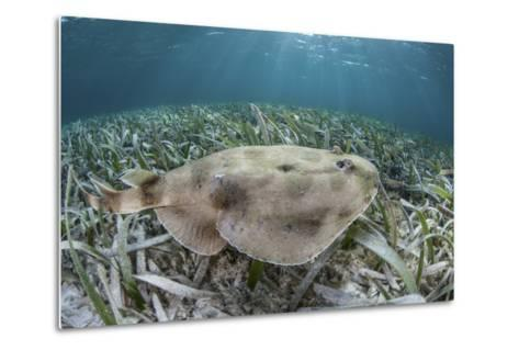 An Electric Ray on the Seafloor of Turneffe Atoll Off the Coast of Belize-Stocktrek Images-Metal Print