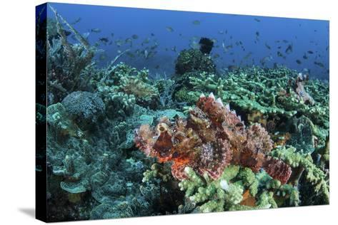 A Venomous Scorpionfish on a Coral Reef in Komodo National Park, Indonesia-Stocktrek Images-Stretched Canvas Print