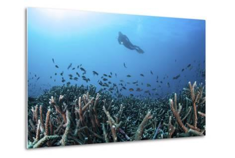 A Diver Swims Above a Healthy Coral Reef in Komodo National Park, Indonesia-Stocktrek Images-Metal Print