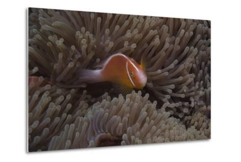 Pink Anemonefish in its Host Anenome, Fiji-Stocktrek Images-Metal Print