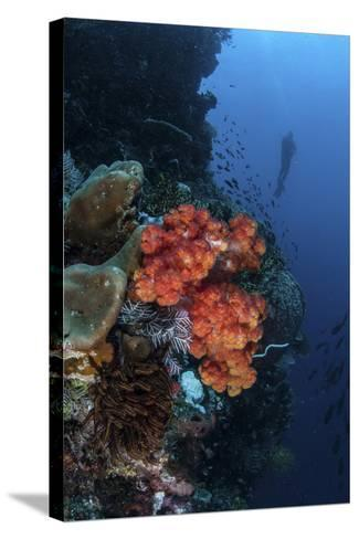 A Beautiful Soft Coral Colony Grows on a Reef Wall in Indonesia-Stocktrek Images-Stretched Canvas Print