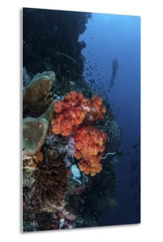 A Beautiful Soft Coral Colony Grows on a Reef Wall in Indonesia-Stocktrek Images-Metal Print