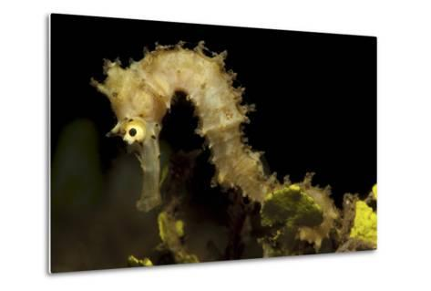 Side View of a Pale Cream Colored Thorny Seahorse-Stocktrek Images-Metal Print