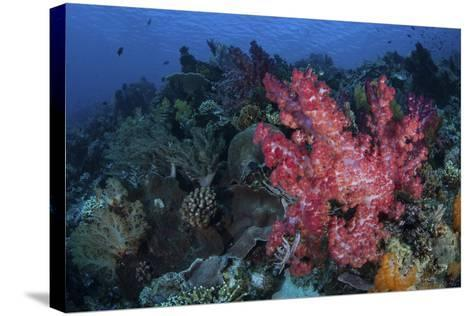 A Beautiful Soft Coral Colony on a Coral Reef in Indonesia-Stocktrek Images-Stretched Canvas Print