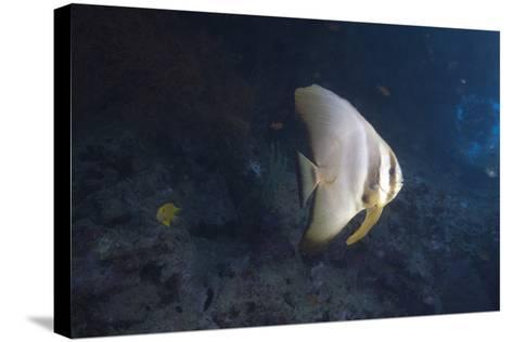 Longfin Spadefish, Beqa Lagoon, Fiji-Stocktrek Images-Stretched Canvas Print