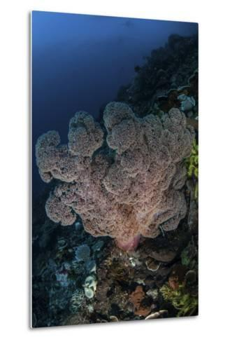 A Large Soft Coral Colony Grows on a Reef Slope in Indonesia-Stocktrek Images-Metal Print