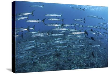 A School of Barracuda Above a Coral Reef in the Solomon Islands-Stocktrek Images-Stretched Canvas Print