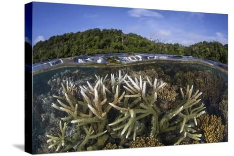 A Slightly Bleached Staghorn Coral Colony in the Solomon Islands-Stocktrek Images-Stretched Canvas Print