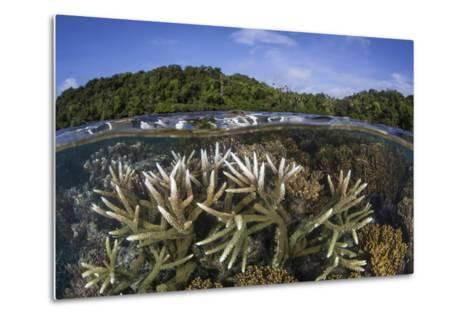A Slightly Bleached Staghorn Coral Colony in the Solomon Islands-Stocktrek Images-Metal Print