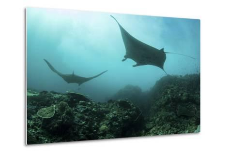 Manta Rays Swims Through a Current-Swept Channel in Indonesia-Stocktrek Images-Metal Print