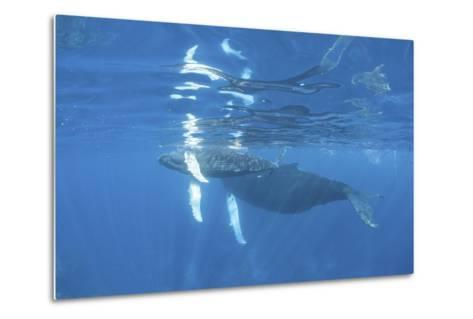 Mother and Calf Humpback Whales Swimming Just under the Surface-Stocktrek Images-Metal Print