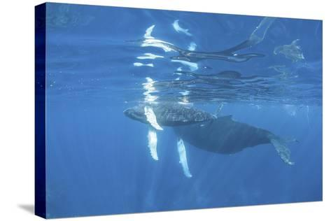Mother and Calf Humpback Whales Swimming Just under the Surface-Stocktrek Images-Stretched Canvas Print