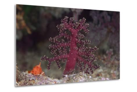 Small Soft Coral, Beqa Lagoon, Fiji-Stocktrek Images-Metal Print
