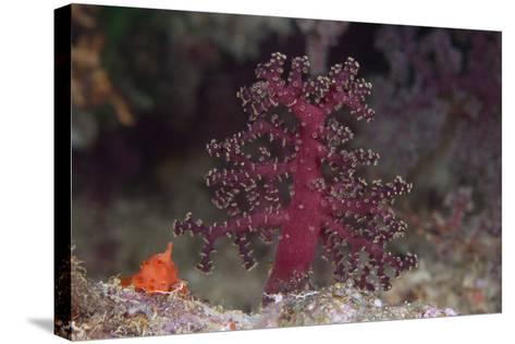 Small Soft Coral, Beqa Lagoon, Fiji-Stocktrek Images-Stretched Canvas Print