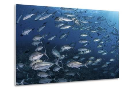 A School of Big-Eye Jacks Above a Coral Reef-Stocktrek Images-Metal Print