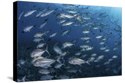 A School of Big-Eye Jacks Above a Coral Reef-Stocktrek Images-Stretched Canvas Print