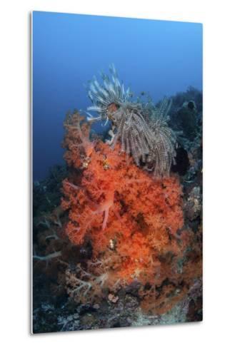 Vibrant Soft Coral Colonies Grow on a Reef in Lembeh Strait-Stocktrek Images-Metal Print