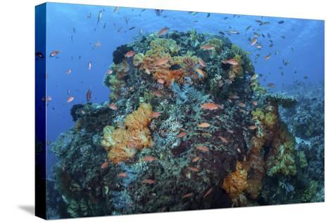 A Colorful, Healthy Coral Reef Thrives in Indonesia-Stocktrek Images-Stretched Canvas Print