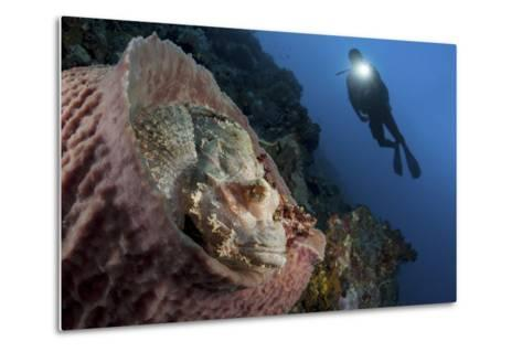 A Diver Looks on at a Tassled Scorpionfish Lying in a Barrel Sponge-Stocktrek Images-Metal Print