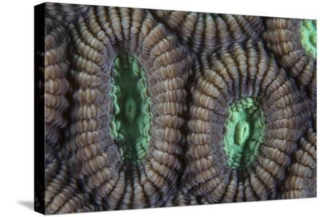 Detail of Coral Polyps on a Reef in Lembeh Strait-Stocktrek Images-Stretched Canvas Print