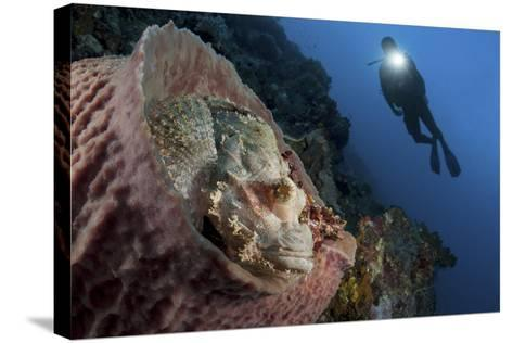 A Diver Looks on at a Tassled Scorpionfish Lying in a Barrel Sponge-Stocktrek Images-Stretched Canvas Print