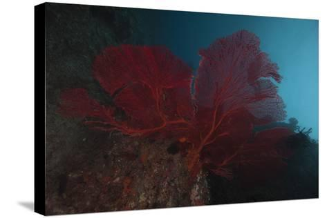 A Large Red Gorgonian Sea Fan, Beqa Lagoon, Fiji-Stocktrek Images-Stretched Canvas Print