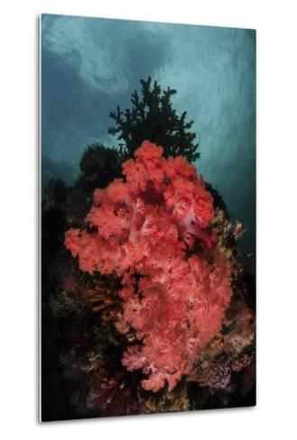 A Soft Coral Colony Grows on a Reef Slope in Indonesia-Stocktrek Images-Metal Print