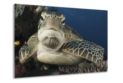 A Green Turtle Resting on a Reef Top in Komodo National Park, Indonesia-Stocktrek Images-Metal Print