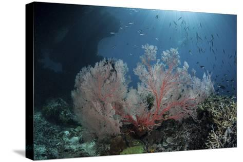 Sunlight Illuminates a Large Gorgonian Growing on a Reef in Raja Ampat-Stocktrek Images-Stretched Canvas Print