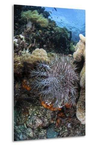 A Crown-Of-Thorns Starfish on a Reef in Indonesia-Stocktrek Images-Metal Print