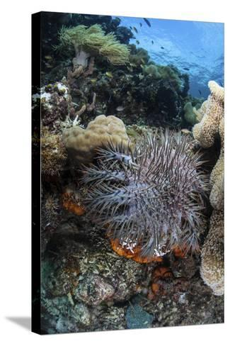 A Crown-Of-Thorns Starfish on a Reef in Indonesia-Stocktrek Images-Stretched Canvas Print