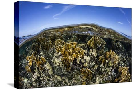 Fire Corals Grow Along a Reef Crest in the Caribbean Sea-Stocktrek Images-Stretched Canvas Print