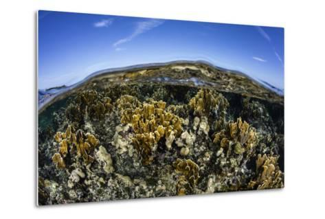 Fire Corals Grow Along a Reef Crest in the Caribbean Sea-Stocktrek Images-Metal Print