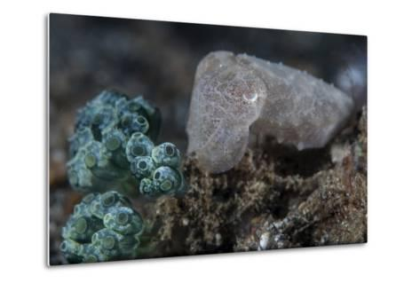 A Pygmy Cuttlefish Blends into its Environment-Stocktrek Images-Metal Print